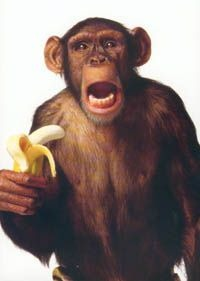 chimp-loves-banana