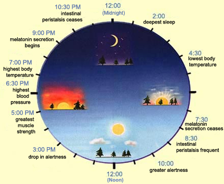 Ciracadian rhythm of the body clock