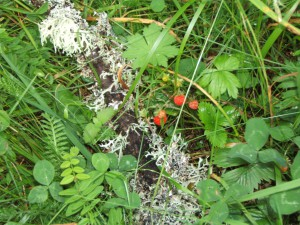 Oakmoss and wild strawberries