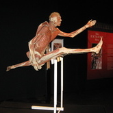 Hurdler in action (courtesy of Body Worlds)
