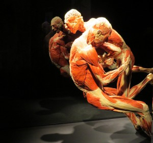 Wrestlers in action Courtesy of Body Worlds)